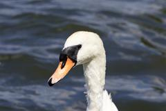 The portrait of the female mute swan with the water on the background - stock photo