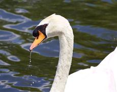 The portrait of the thoughtful mute male swan drinking the water Stock Photos