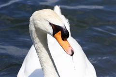The beautiful portrait of the thoughtful mute swan - stock photo