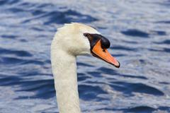 Beautiful close-up of the thoughtful mute swan - stock photo