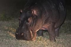 Hippopotamus Hippopotamus amphibius grazing nocturnal foraging South Africa Stock Photos