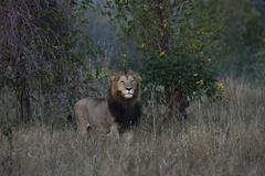 Lion Panthera leo maned lion alert South Africa Africa Stock Photos