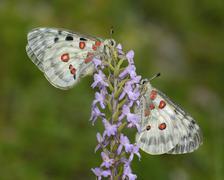 Apollo Butterflies Parnassius apollo two butterflies resting on a - stock photo