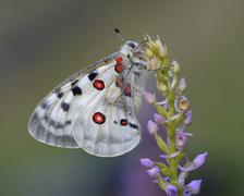 Apollo Butterfly Parnassius apollo on a Shortspurred Fragrant Orchid - stock photo