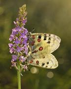 Apollo Butterflies Parnassius apollo two butterflies covered with dew mating on Stock Photos