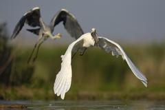 A Great Egret Ardea alba taking off with a fish in its beak is followed by a - stock photo