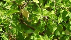 Ocimum tenuiflorum Stock Footage