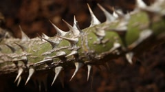 Macro succulent thorns Stock Footage