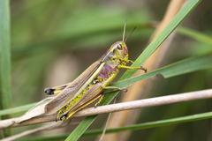 Large Marsh Grasshopper Stethophyma grossum female reddish color variant - stock photo