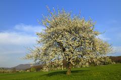 Sweet Cherry tree Prunus avium Swabian Alb Biosphere Reserve BadenWurttemberg Stock Photos