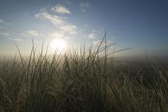European Marram Grass or Beach Grass Ammophila arenaria in front of heathland Stock Photos