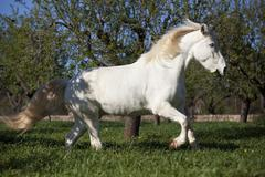 Appaloosa mix grey horse gelding on meadow at a gallop behind almond trees - stock photo