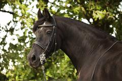 Stock Photo of Friesian horse mature gelding with a bridle and a baroque harness