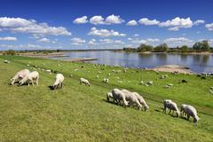 Sheep grazing on a dyke Vierlande and Marschlande region Hamburg Germany Europe Stock Photos