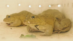 Close up big frogs Stock Footage