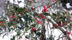 Holly berries in snow - stock footage