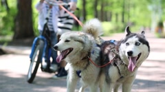 Team of two dogs and girl with boy on scooter. Focus on dogs Stock Footage