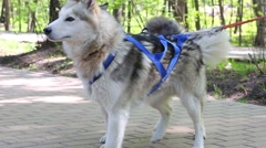 Team of two dogs huskies waiting food in summer park Stock Footage