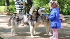 Little girl in blue jacket plays with sled dogs with scooter Stock Footage