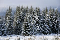 Stock Photo of Snow covered trees Bromont Eastern Townships Quebec Canada North America