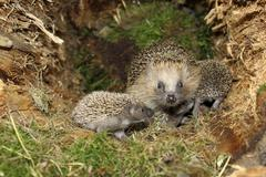 European Hedgehog Erinaceus europaeus with young 19 days in the nest in an old - stock photo