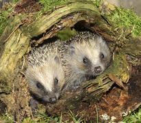 Hedgehog Erinaceus europaeus young animals in old tree stump Allgau Bavaria - stock photo