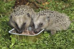 Hedgehog Erinaceus europaeus young animals feeding from bowl in the garden - stock photo