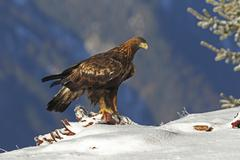 Golden Eagle Aquila chrysaetos on carcass Montafon Vorarlberg Austria Europe - stock photo