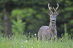 Roe deer Capreolus capreolus with three pointed antler transition from grey - stock photo