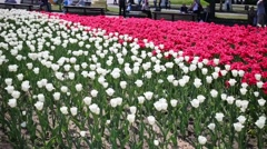 Big flowerbed with many pink and white tulips at summer Stock Footage