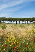 Pine avenue and poppy field Natural Park of Maremma at Grosseto Tuscany Italy - stock photo
