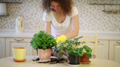 Stock Video Footage of Young beautiful woman transplants flowers in pots in cozy kitchen