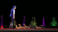Circus performing with group of trained dogs Stock Footage