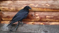 Black raven with bandage on claw sits near wooden wall Stock Footage