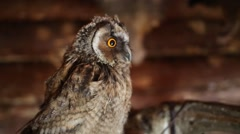Brown owl sits on indoor henroost and looks around. Close up view Stock Footage