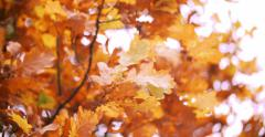 Oak tree in autumn with yellow orange leaves - stock footage
