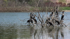 4K Cormorant Flock Flap Wings Fly Skip On Water - stock footage