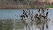 Stock Video Footage of 4K Cormorant Flock Flap Wings Fly Skip On Water