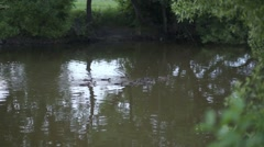 Mother duck with group of ducklings on water surface at pond. Stock Footage