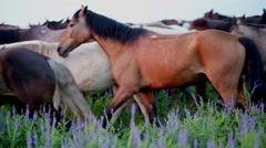 Herd of horses at a slow pace crosses an overgrown meadow. - stock footage