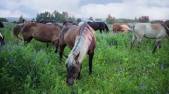 Group of horses grazes at overgrown meadow early morning. Stock Footage