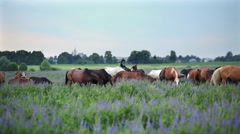 Cowboys browse herd of horses on an overgrown meadow. Stock Footage