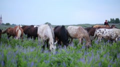Group of horses browses at overgrown meadow in the morning. Stock Footage