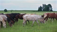 Herd of horses crosses an overgrown meadow accompanied by cowboy. Stock Footage