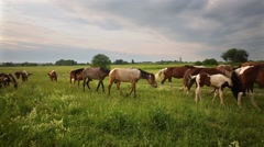 Herd of horses browse on grassy meadow under cloudy sky. Stock Footage