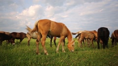 Herd of horses browse on grassy meadow under cloudy sky Stock Footage
