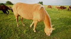 Close-up golden dun horse browse on grassy meadow in herd. Stock Footage