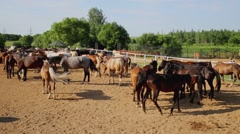 Horses walk at sanded paddock next to stabling on farm. Stock Footage
