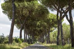Pine avenue Natural Park of Maremma at Grosseto Tuscany Italy Europe - stock photo