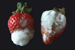 Stock Photo of Grey Mould or Gray Mold Botrytis cinerea on strawberries